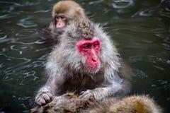 Japanische Makaken, die in einer heißen Quelle sich pflegen Lizenzfreies Stockfoto
