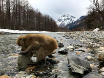 Japanische Makaken im Nationalpark Kamikochi Lizenzfreies Stockbild
