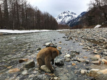 Japanische Makaken im Nationalpark Kamikochi Stockfotos