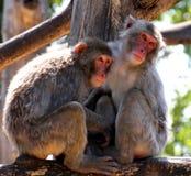 Japanische Makakenmutter und -sohn Stockfotos