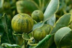 Japanische Orangen als Alkalianlagen Lizenzfreie Stockbilder