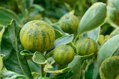 Japanische Orangen als Alkalianlagen Lizenzfreies Stockbild