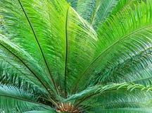 Japanische Sagopalme, Cycas revoluta Stockbild