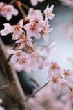 Japanische Sakura-Blüte Stockfotografie