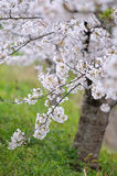 Japanische Sakura-Blüte Lizenzfreies Stockbild