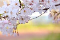 Japanische Sakura-Blüte Lizenzfreies Stockfoto
