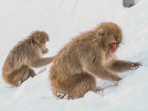 Japanische Schneeaffe-Schneewintersaison in der heißen Quelle Onsaen, Tiernaturgeschöpf Jigokudan-Park der wild lebenden Tiere, N Lizenzfreie Stockfotos