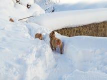 Japanische Schneeaffe-Schneewintersaison in der heißen Quelle Onsaen, Tiernaturgeschöpf Jigokudan-Park der wild lebenden Tiere, N Lizenzfreie Stockbilder