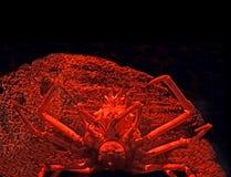 Japanische Seespinne mit Koralle im roten Licht lokalisiert auf schwarzem B Lizenzfreie Stockfotografie