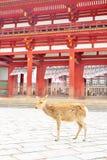 Japanische Sikahirsche vor Todaiji-Tempel, Nara stockfotografie