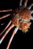 Japanische Spinnenkrabbe getrennt auf Schwarzem Stockfoto