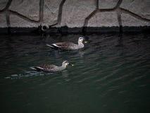 Japanische spotbill Enten schwimmen in Sakai River lizenzfreies stockfoto