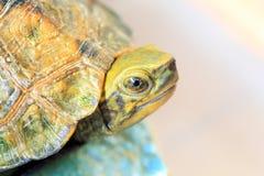 Japanische Teichschildkröte Lizenzfreie Stockbilder