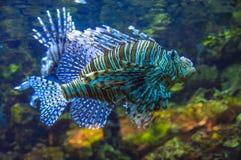 Japanische warbonnet Fische schließen oben lizenzfreie stockbilder