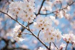 Japanische weiße Kirschblüte im Frühjahr Stockbild