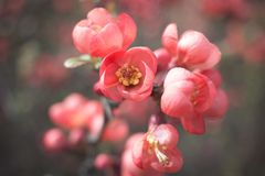 Maule`s quince - Chaenomeles japonica royalty free stock photo
