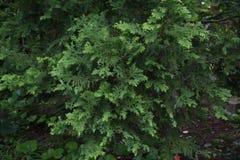 Japanische Zypresse Hinoki-Zypresse stockfoto