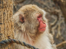 Japanischer Affe an Arashiyama-Park Stockbild