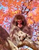 Japanischer Affe im Rotahornbaum Stockfoto