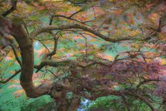 Japanischer Ahorn über grünem Wasser des Teichs unten Stockbild