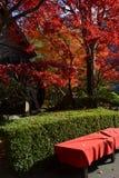 Japanischer Ahorn Lizenzfreies Stockbild