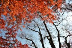 Japanischer Ahorn Stockbilder