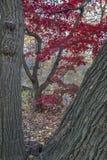 Japanischer Ahorn-Acer-palmatum Lizenzfreie Stockbilder