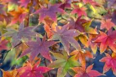 Japanischer Ahorn-Acer-palmatum Lizenzfreies Stockbild