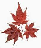 Japanischer Ahorn-Acer-palmatum Stockfoto
