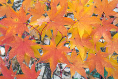 Japanischer Ahorn-Acer-palmatum Lizenzfreie Stockfotos