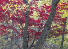 Japanischer Ahorn-Acer-palmatum Stockbild