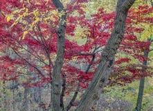 Japanischer Ahorn-Acer-palmatum Stockfotografie