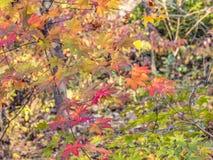 Japanischer Ahorn-Acer-palmatum Lizenzfreie Stockfotografie