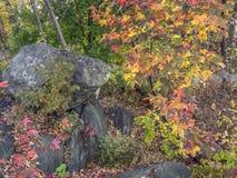 Japanischer Ahorn-Acer-palmatum Stockfotos