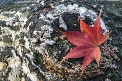 Japanischer Ahorn-Acer palmatum Blatt Stockbilder
