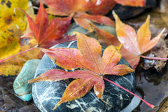 Japanischer Ahorn-Acer palmatum Blatt Stockfotos