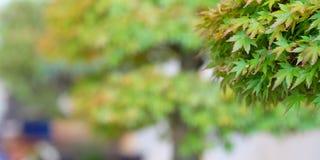 Japanischer Ahorn Acer-palmatum an einer Bonsaiausstellung Stockbild