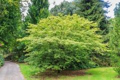 Japanischer Ahorn, Acer palmatum linearilobum Lizenzfreies Stockfoto