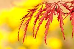 Japanischer Ahorn Acer-palmatum mit einem gelben Hintergrund Stockfotografie