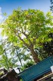 Japanischer Ahorn als Bonsaibaum Lizenzfreie Stockfotos