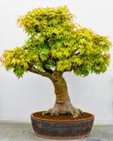 Japanischer Ahorn-Bonsai-Baum im Pflanzer stockbild
