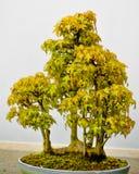 Japanischer Ahorn-Bonsai-Baum im Pflanzer stockfoto
