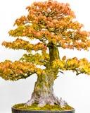 Japanischer Ahorn-Bonsai-Baum im Pflanzer lizenzfreie stockfotografie