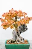 Japanischer Ahorn-Bonsai-Baum im Pflanzer lizenzfreie stockbilder