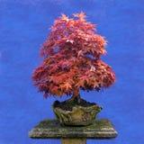 Japanischer Ahorn des Bonsaibaums Stockfotos