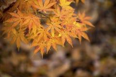Japanischer Ahorn mit weich unscharfem Hintergrund stock abbildung