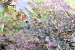 Japanischer Ahorn ` Moonfire-` Blatt und Frucht Lizenzfreie Stockfotografie