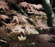 Japanischer Ahorn oder Blätter Acers Palmatum Lizenzfreies Stockbild