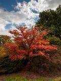 Japanischer Ahorn u. x28; Acer-palmatum& x29; Lizenzfreie Stockbilder