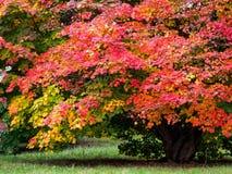 Japanischer Ahorn u. x28; Acer-palmatum& x29; Stockfoto